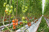 Tomatoes ripening in a big greenhouse