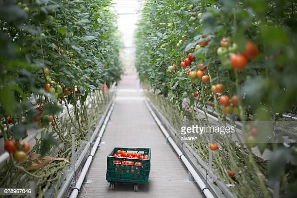 Tomaten ripening im Gewächshaus