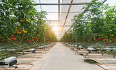 Tomatoes ripening in greenhouse over sunset.
