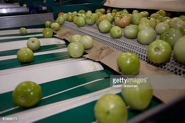 Tomatoes roll off a conveyor belt prior to quality control at West Coast Tomato June 21 2008 in Palmetto Florida The Food and Drug Administration...