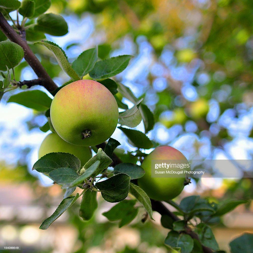 Tomorrow's Apple Pie : Stock Photo