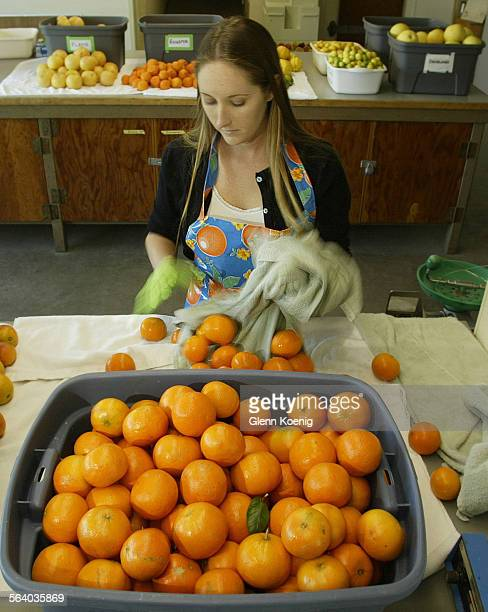 Toni Siebert research staff member with UC Riverside sorts cleaned citrus from the experimental citrus collectionÊThe citrus fruit was being prepared...