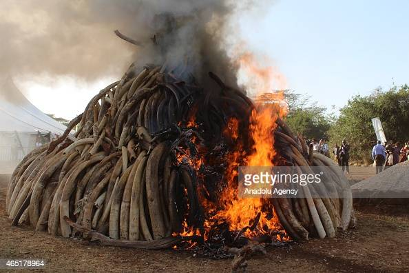 15 tons of ivory set fire by Kenyan President Uhuru Kenyatta in Nairobi Kenya on March 3 2015 Between 20000 and 25000 elephants are killed in Africa...