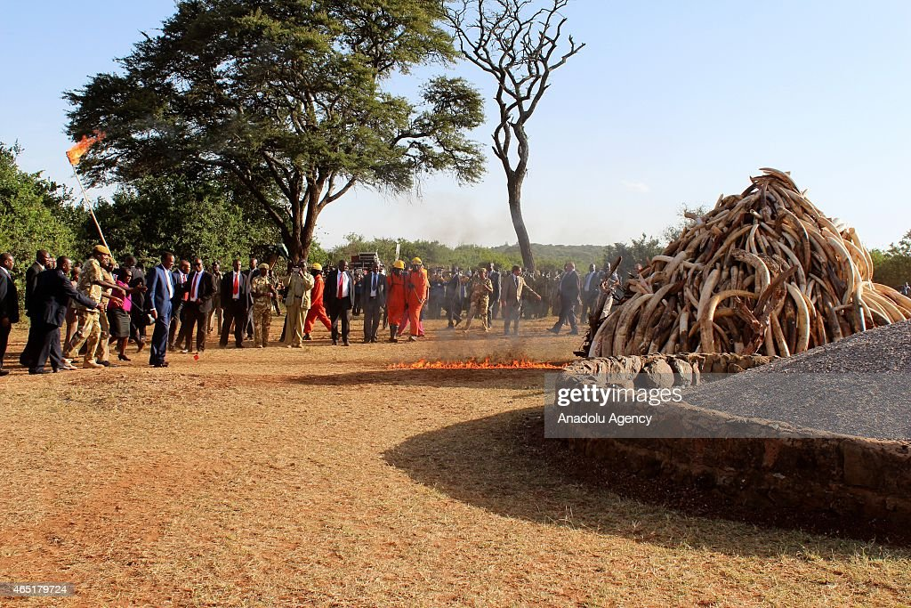 15 tons of ivory set fire by Kenyan President <a gi-track='captionPersonalityLinkClicked' href=/galleries/search?phrase=Uhuru+Kenyatta&family=editorial&specificpeople=2149190 ng-click='$event.stopPropagation()'>Uhuru Kenyatta</a> in Nairobi, Kenya, on March 3, 2015. Between 20,000 and 25,000 elephants are killed in Africa annually and Kenyan President <a gi-track='captionPersonalityLinkClicked' href=/galleries/search?phrase=Uhuru+Kenyatta&family=editorial&specificpeople=2149190 ng-click='$event.stopPropagation()'>Uhuru Kenyatta</a> on Tuesday set fire to 15 tons of elephant tusk in a symbolic measure meant to deter illegal poaching.