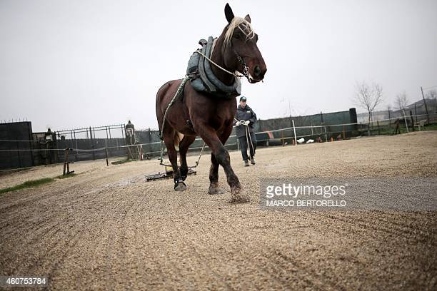 MACKINNON Tony Gerardi of the association 'L'estancia' which supports the project 'Save the Working Horse' trains 'Snoby du Mulin' a horse saved from...