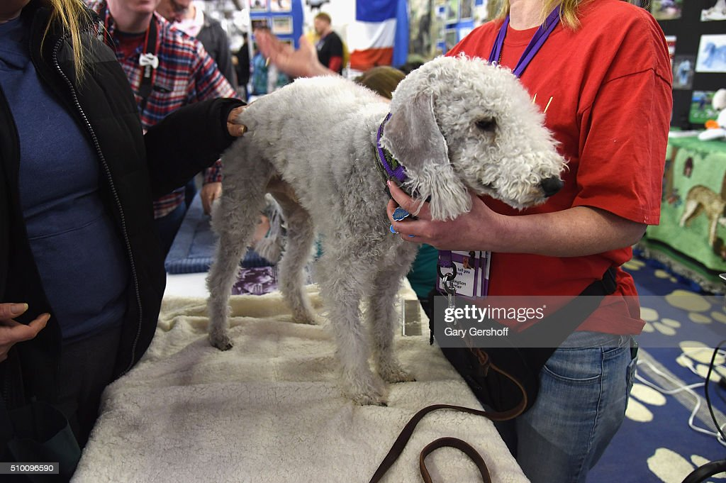 O'Toole, a four year old male Bedlington Terrier attends the 7th Annual AKC Meet The Breeds at Pier 92 on February 13, 2016 in New York City.