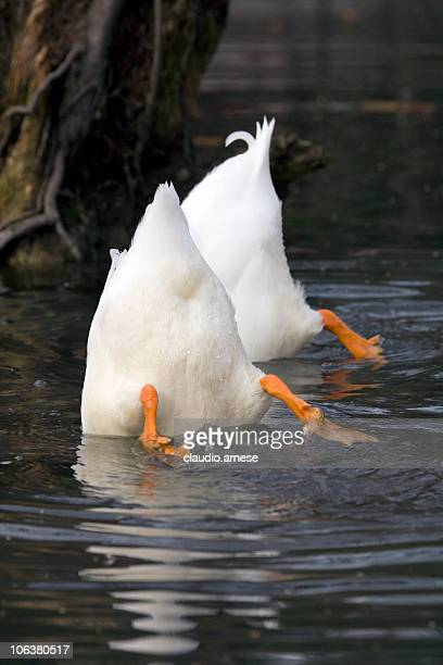 Top Down Duck
