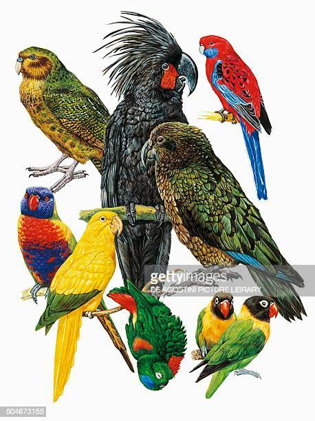 Top from left to right Kakapo Palm Cockatoo Crimson Rosella below from left to right Rainbow Lorikeet Golden Parakeet Kea bottom Bluecrowned Hanging...