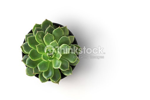 top view cactus plant in pot isolate on white background : Stock Photo