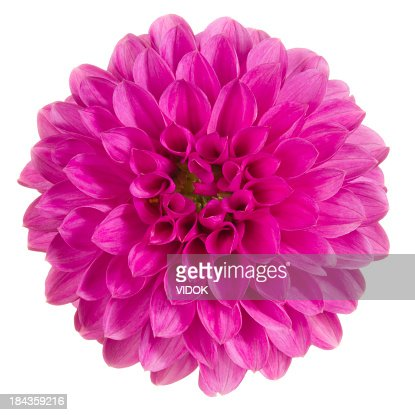 Top view close-up of bright pink dahlia