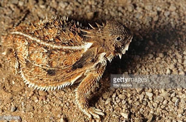 Top view dorsal view of a regal horned lizard Phrynosoma solare Sonoran Desert Tucson Mountains Tucson Arizona USA
