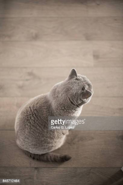 Top view of a British Short hair cat sitting on wooden floor looking away