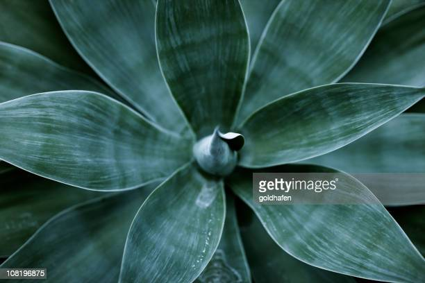 Top view of agave plant leaves