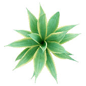 top view of aloe plant isolated on white background. 3d illustration