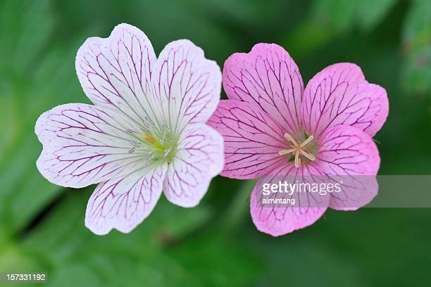 Top View of Geranium