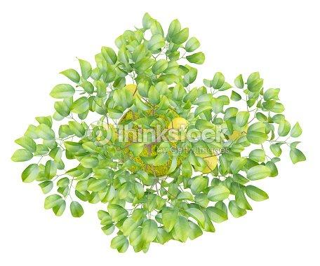 Vista dallalto di albero di limone in vaso solo su sfondo for Albero limoni in vaso