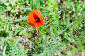 Wild poppy flower on the blurred background of a glade with grass close-up, top view