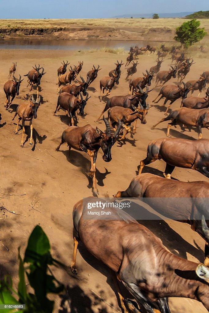 Topi Migration : Stock Photo
