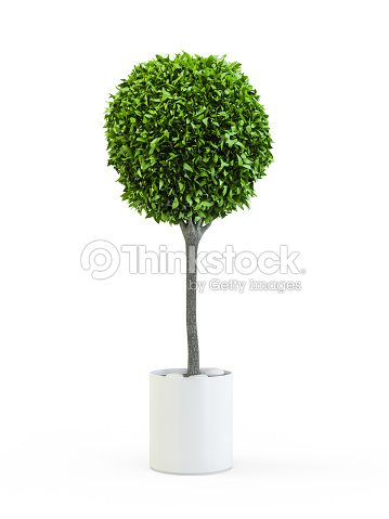Topiary trees in the pot : Stock Photo