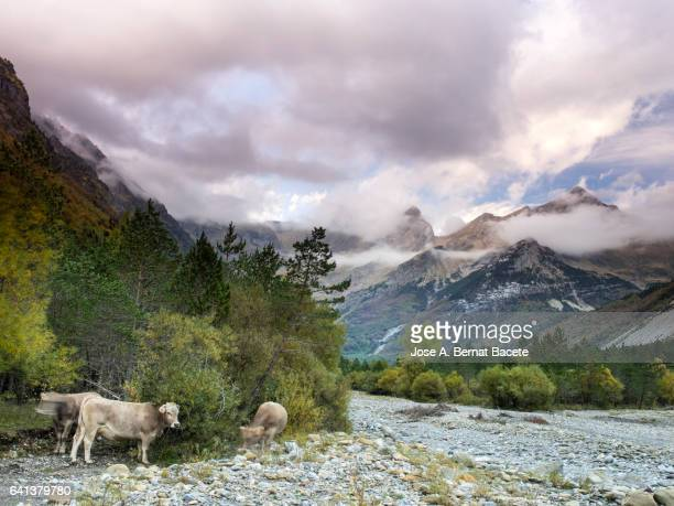 Tops of high mountain in autumn with a climate of storm and cows grazing next to the bed of a dry river