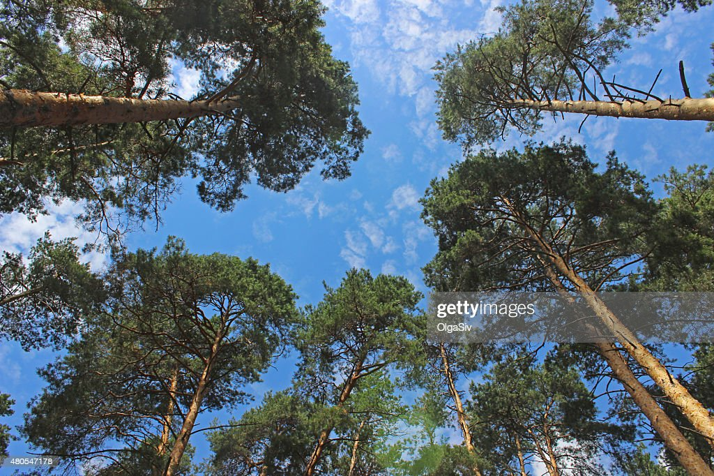 tops of the pines : Stock Photo