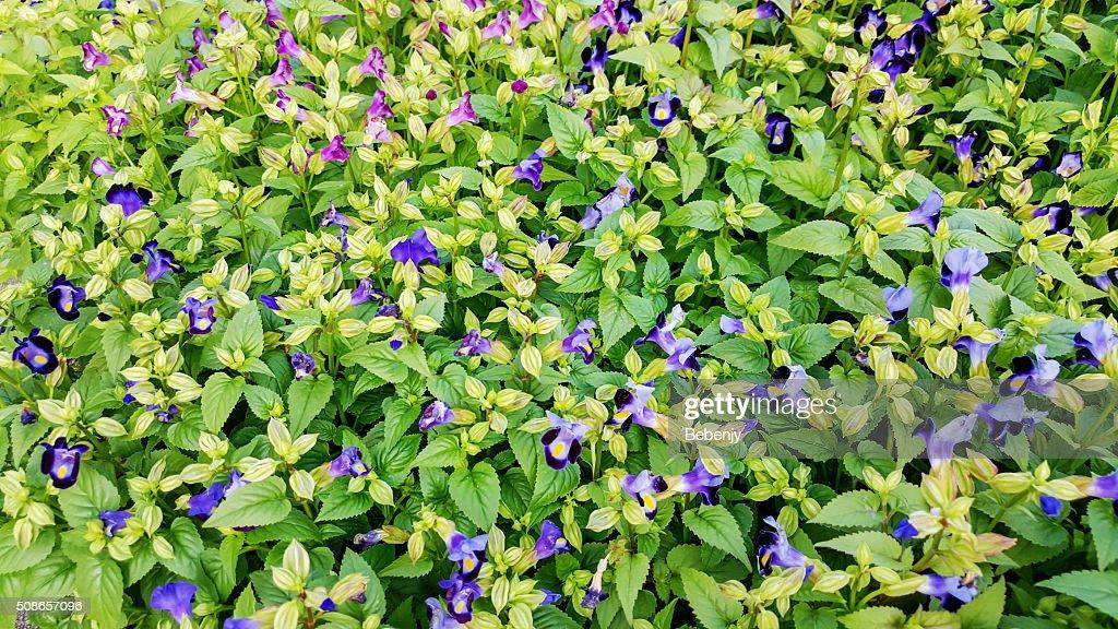 Torenia Fournieri or Wishbone flowers blooming background : Stock Photo