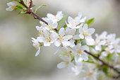 Toringo crabapple in blossom in Japan