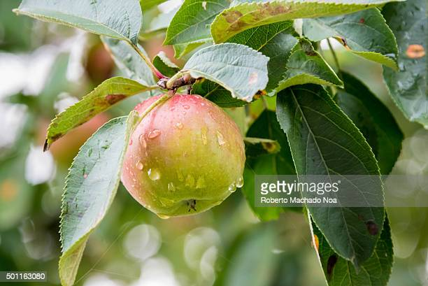 Toronto Apples Blushing red apple with rain drops hanging on a branch in an Orchard in Toronto Canada Fruit growing is an important part of Canadas...