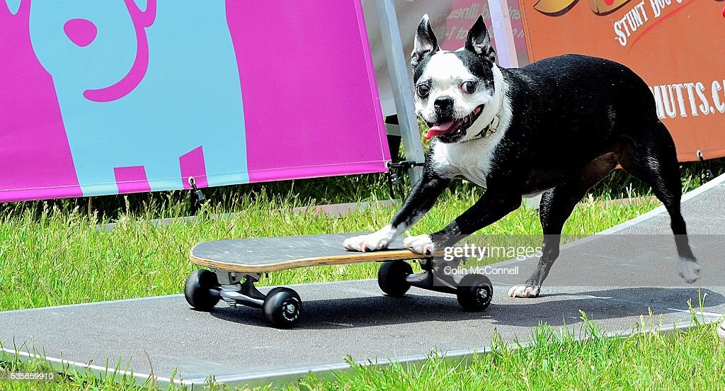 Toronto May 28th 2016 Woodbine Park The Ultimutts dogs put on a show as they show off their skate boarding ability thousands of people will attend the two day Woofstock today and tomorrow