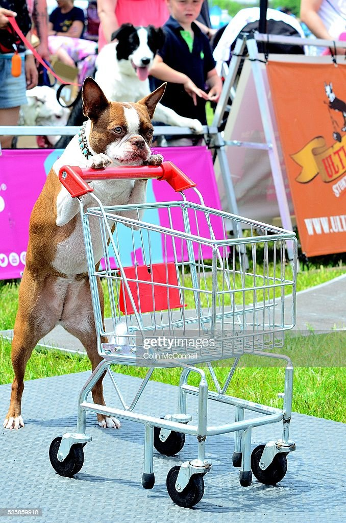 Toronto May 28th 2016 Woodbine Park Woofstock celebrated its 13th year with fashion shows and much more with thousands of people in attendance in the Ultimutts show........they demonstrate how to use a shopping cart