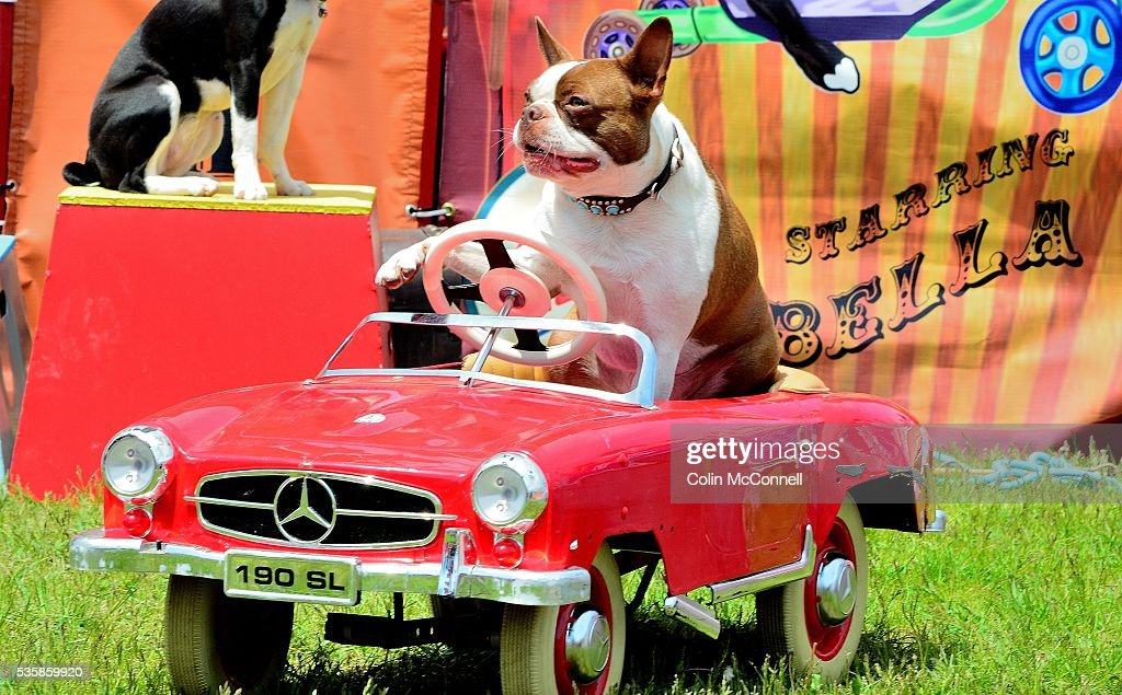 Toronto May 28th 2016 Woodbine Park Woofstock celebrated its 13th year with fashion shows and much more.....here the Ultimutts show shows off how they can drive...Thousands of people attend the two day event