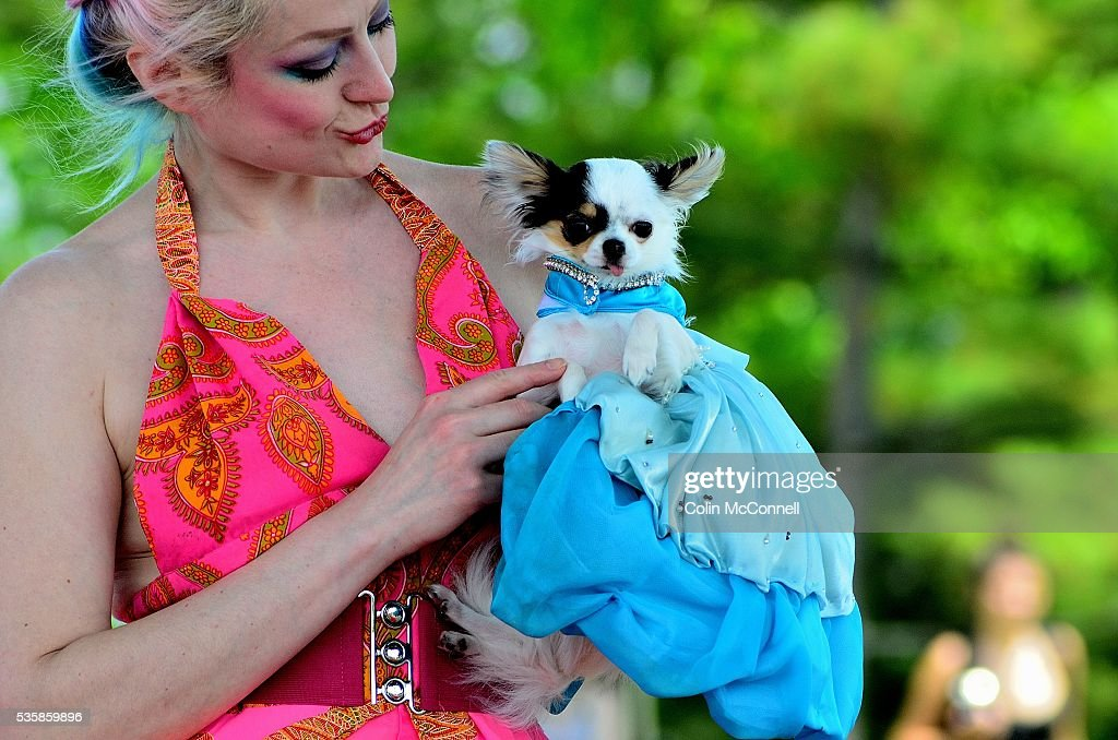 Toronto May 28th 2016 Woodbine Park Woofstock celebrates its 13th year with fashion shows and much more........A dog shows off its fancy dress in the fashion show
