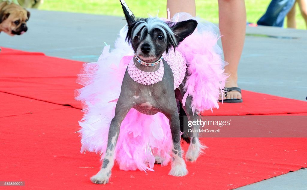 Toronto May 28th 2016 Woodbine Park Woofstock celebrates its 13th year with fashion shows and much more A dog shows off her pink outfit