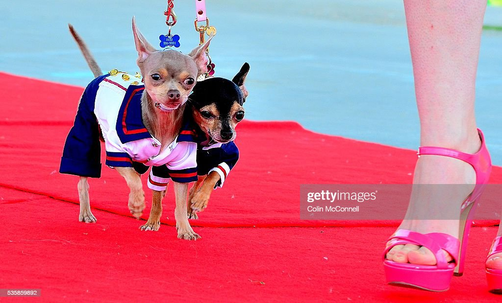 Toronto May 28th 2016 Woodbine Park....Woofstock celebrates its 13th year with fashion shows for dogs and much more a couple of chihuahuas take part in the fashion show