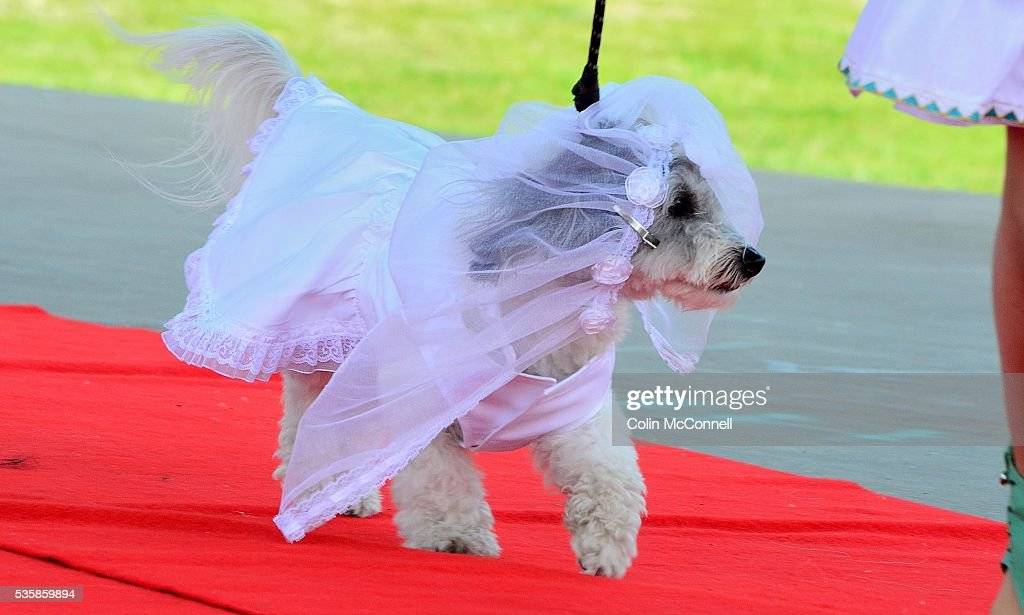 Toronto May 28th 2016.....Woodbine Park Woofstock celebrates its 13th year with fashion shows for doggies and much more...... A dog shows off its wedding dress in the fashion show
