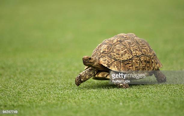 A tortoise crosses the fourth fairway during the first round of the Alfred Dunhill Championship at Leopard Creek Country Club on December 10 2008 in...