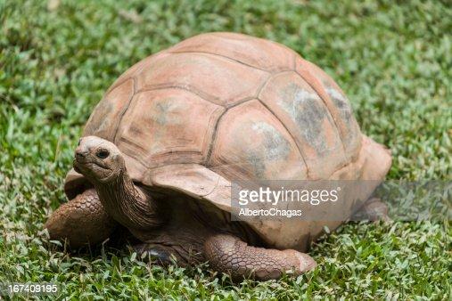 Landschildkröte : Stock-Foto