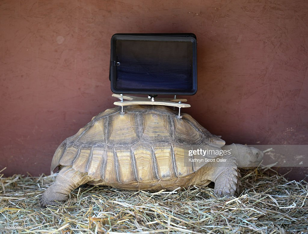 A tortoise takes a slow walk inside a pen where the animals can be seen with iPads mounted to their shells. The tortoises are part of an exhibit at the new Aspen Art Museum by artist by Cal Guo-Qiang.The Aspen Art Museum celebrates its grand opening to the public on Saturday, Aug. 2, 2014. The architect on the project, Shigeru Ban, was there for the celebration which included an official ribbon cutting and fireworks.
