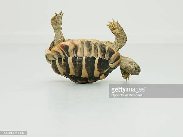 Tortoise upside down, balancing on shell