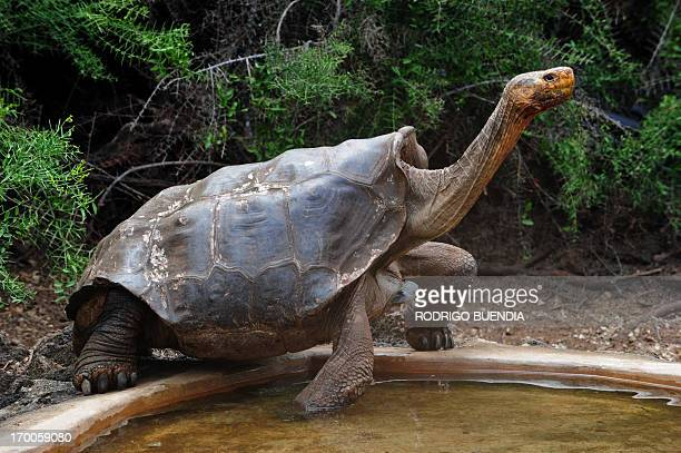 Tortoises 'Diego' a species of the Española Island giant tortoise species is pictured in a breeding centre at the Galapagos National Park in Santa...
