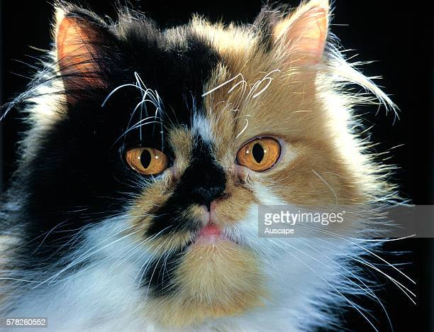 Tortoiseshell and white Persian cat Felis catus portrait studio photograph