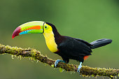 Keel-billed toucan in the wild. Beautiful bird in Costa Rica.