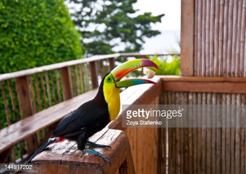 Toucan catching banana piece