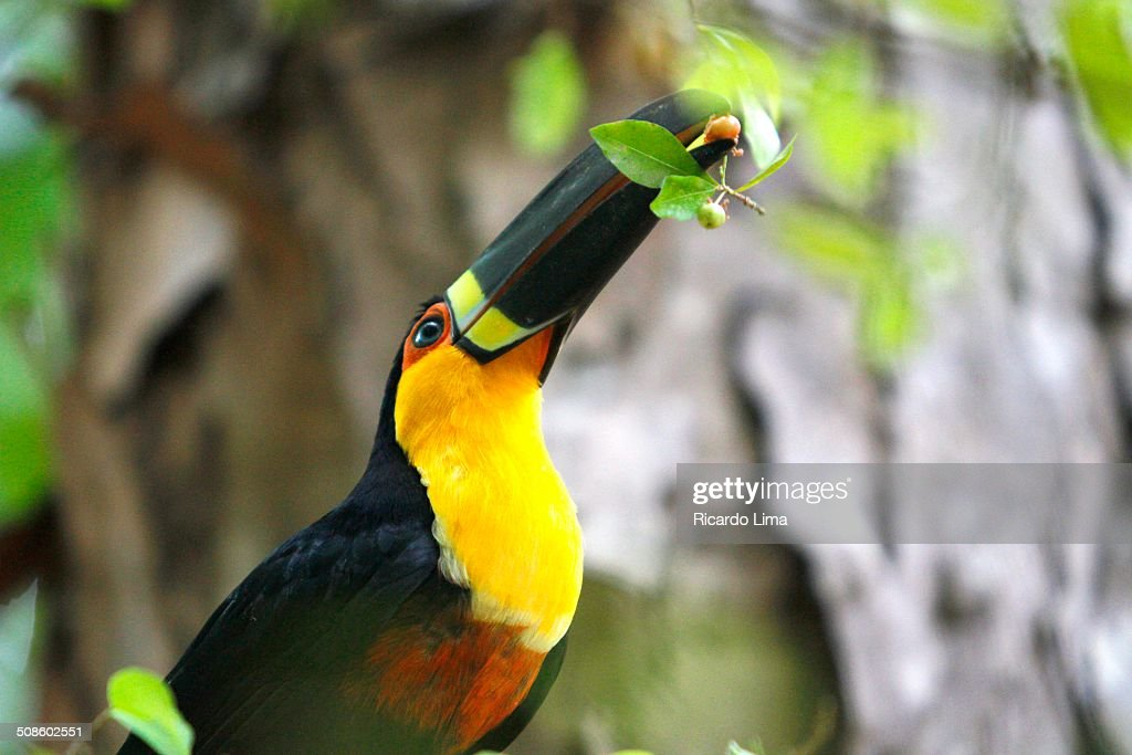 Toucan eating fruits : Stock Photo