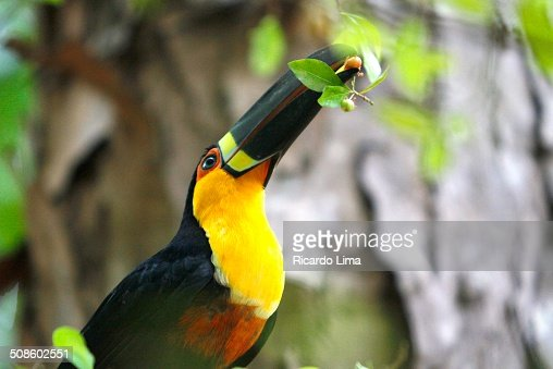 Toucan eating fruits : Foto de stock