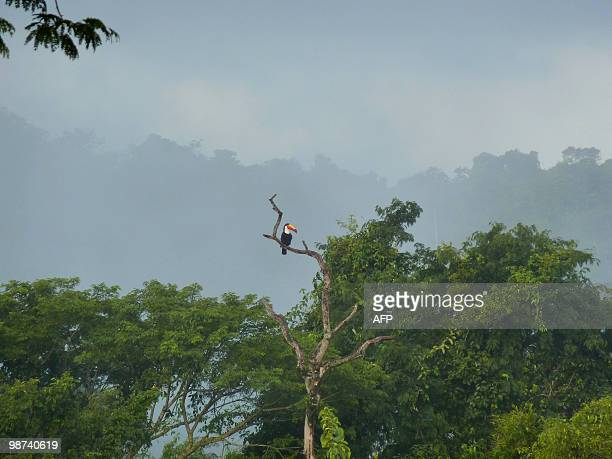 A toucan is perched in a tree at the Iguazu National Park on April 27 nearby the Iguazu Falls The Falls declared a World Heritage Area by UNESCO in...