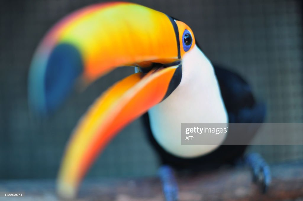 A Toucan rescued from wild animals traffickers remains in a cage at a recovery center for wild animals 80 km north of Rio de Janeiro on April 17 2012...