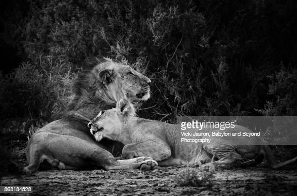 Touching Scene of Love Between Lion and Lioness in Samburu, Kenya