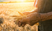 Hand in a field. Touching the harvest.