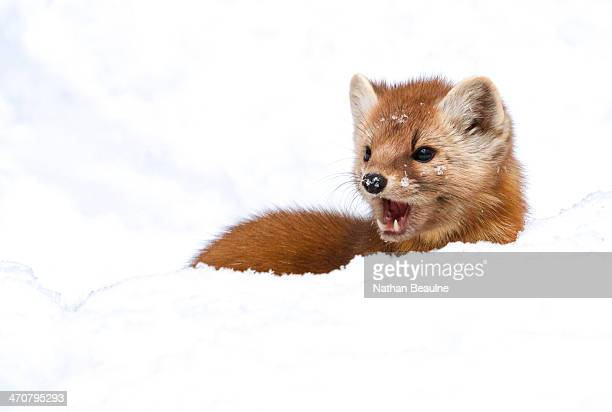 Tough Guy - Pine Marten